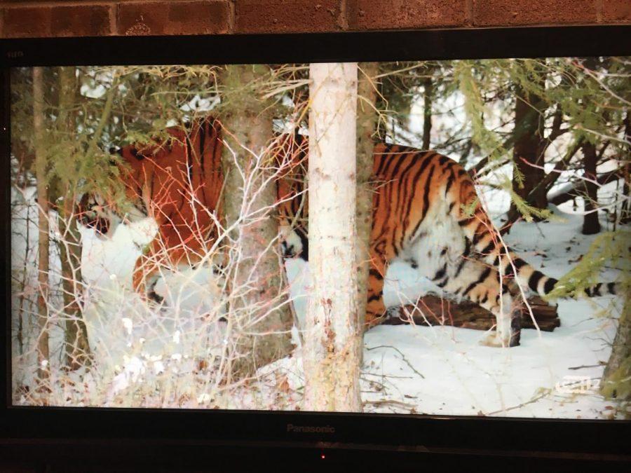 Tiger on TV