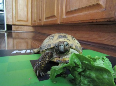 A healthy meal for Goofy the tortoise!