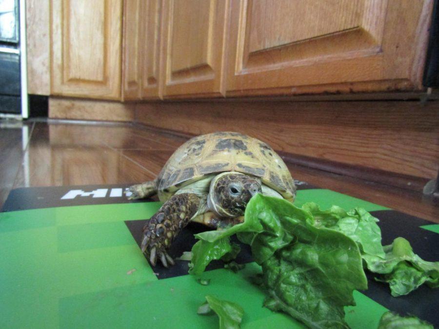 Goofy the Tortoise!